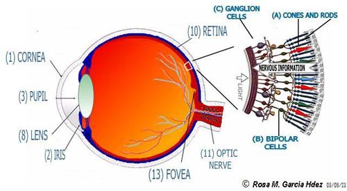 15-Retina---ojo